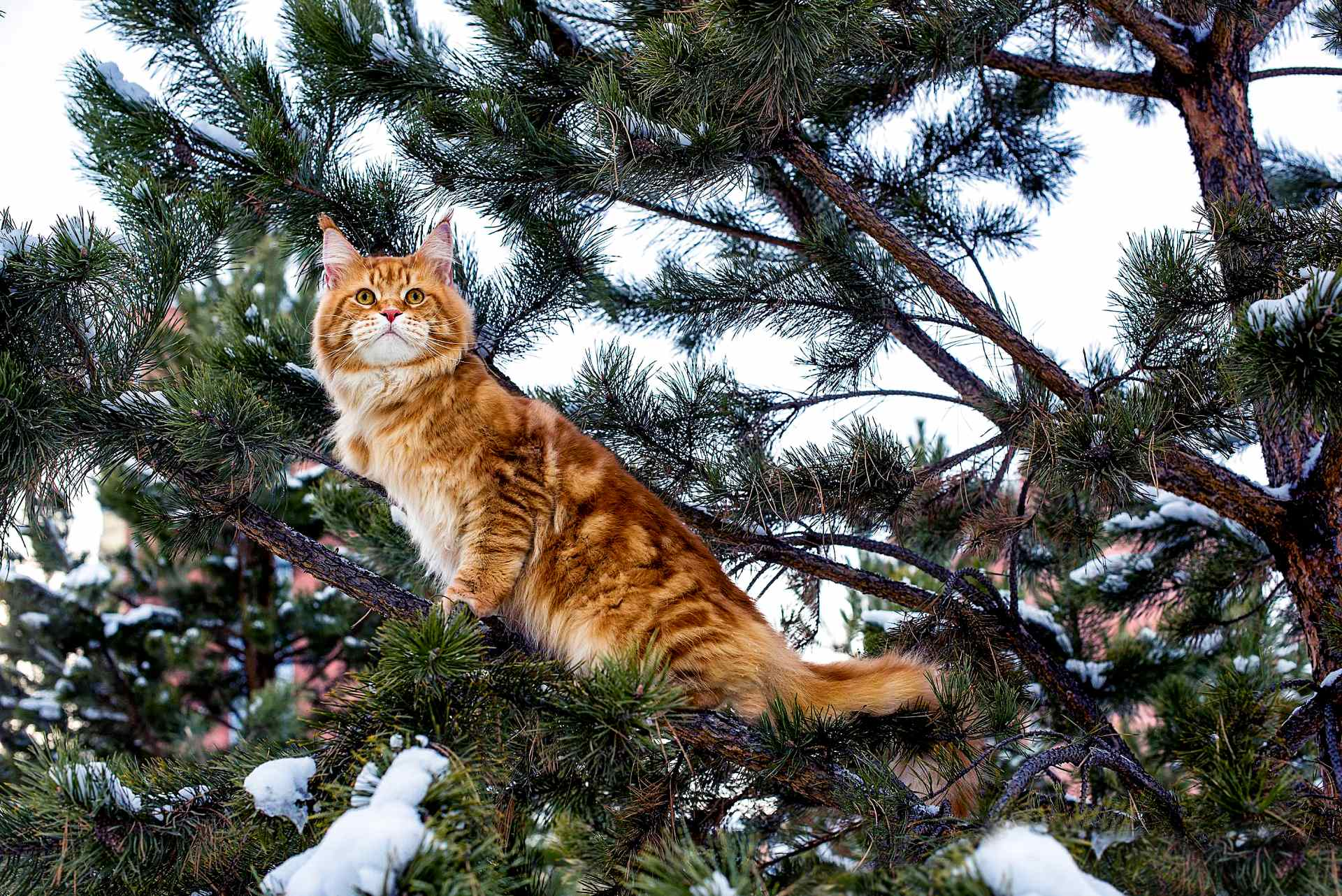 Maine Coon Breed Guide | Pet Insurance Review