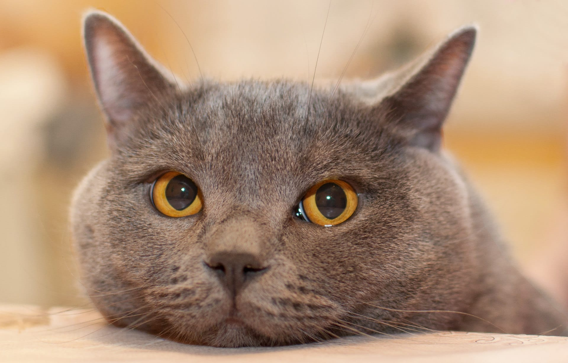 British Shorthair Breed Guide | Pet Insurance Review