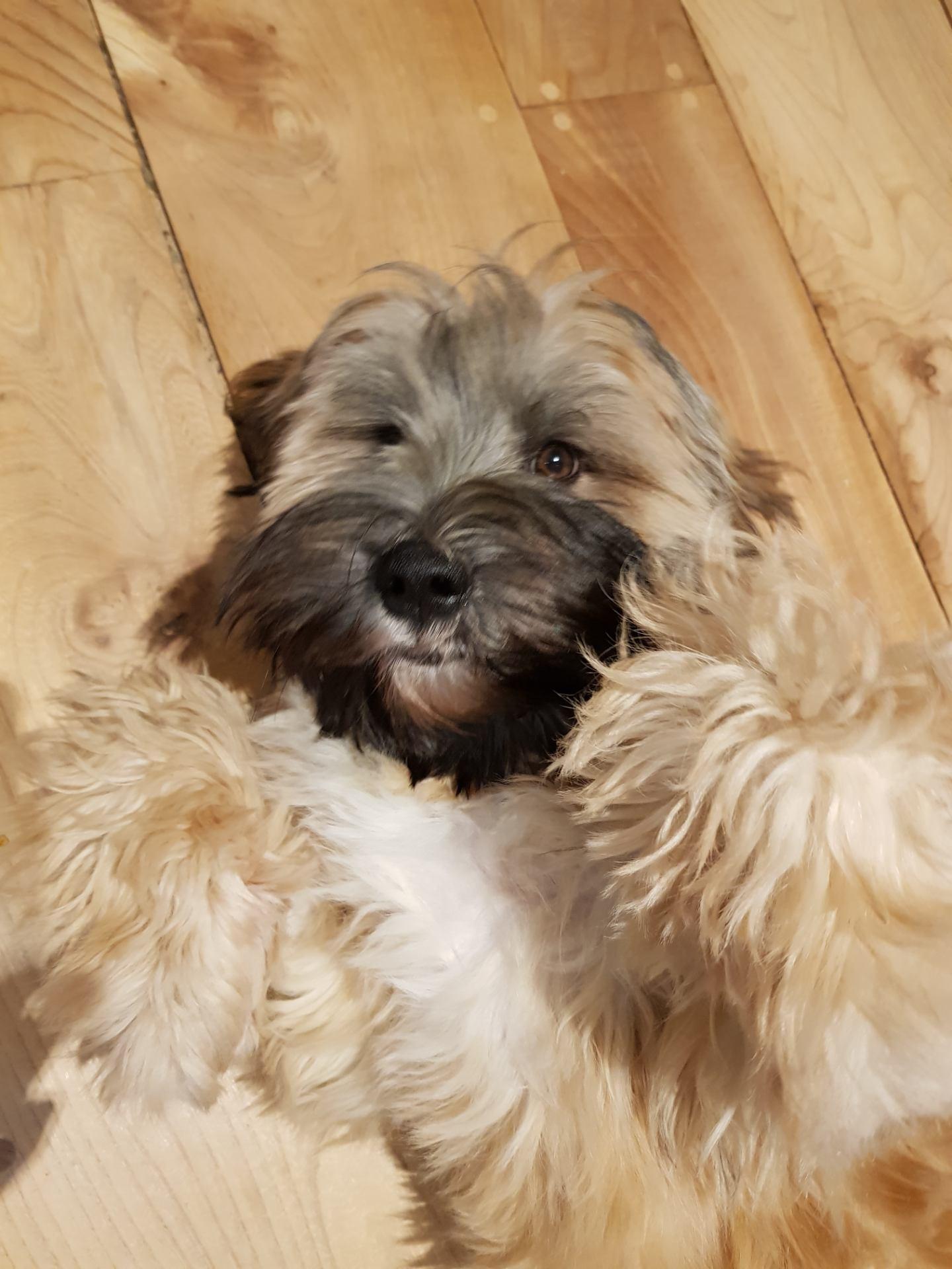 Digby the Tibetan Terrier