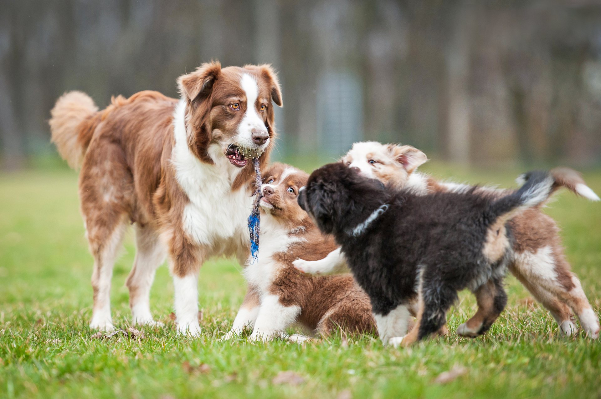 Puppies playing with an older dog