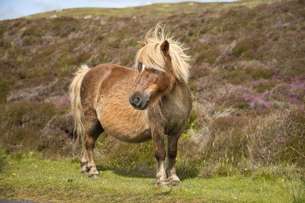 Horse Laminitis