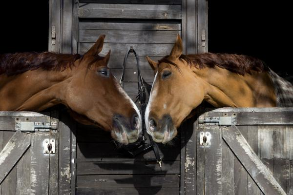 Two horses peering over stable doors