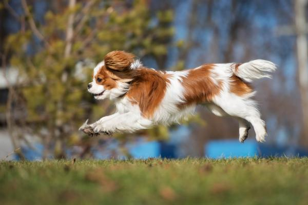 Cavalier King Charles Spaniel running along the grass