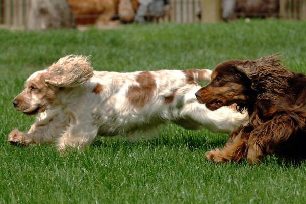 Two Cocker Spaniels running on the grass in the sunshine