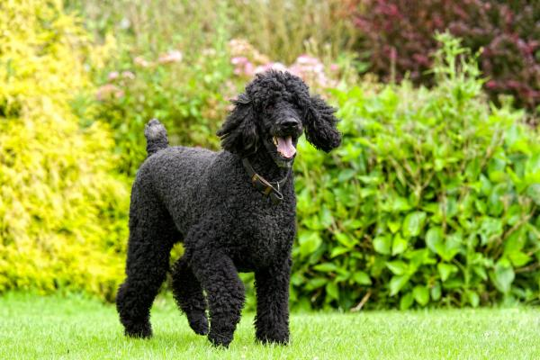 Black Poodle in a garden