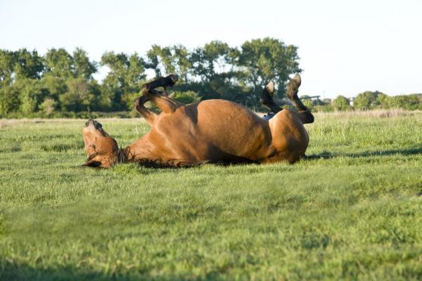 Horse rolling on its back on the grass