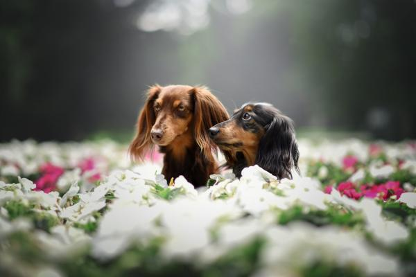 Dachshund sitting in flowers