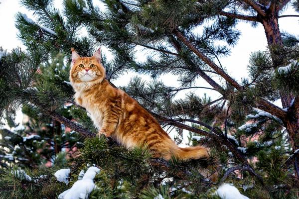 Maine Coon Cat in a tree