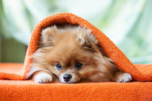 Pomeranian wrapped up in an orange blanket